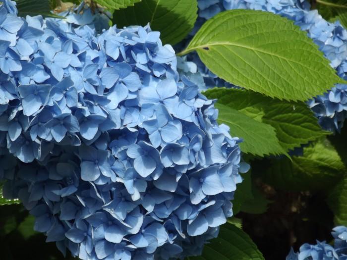 Comment garder ses hortensias bleus ?