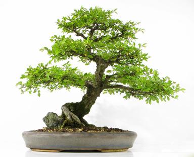 Bonzaï, un arbre dans ma maison