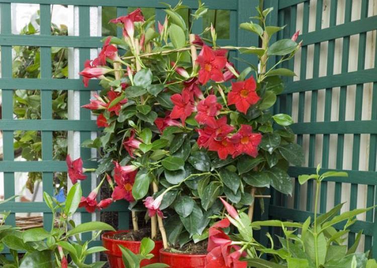 dipladenia la plante facile vivre jardiner en ville. Black Bedroom Furniture Sets. Home Design Ideas